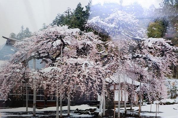 しだれ桜と春の雪