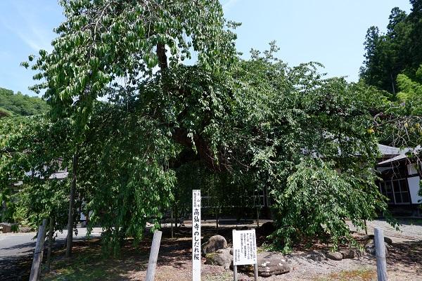 夏の高仙寺の桜